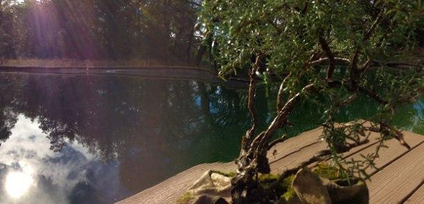 rosemary_bonsai_pond